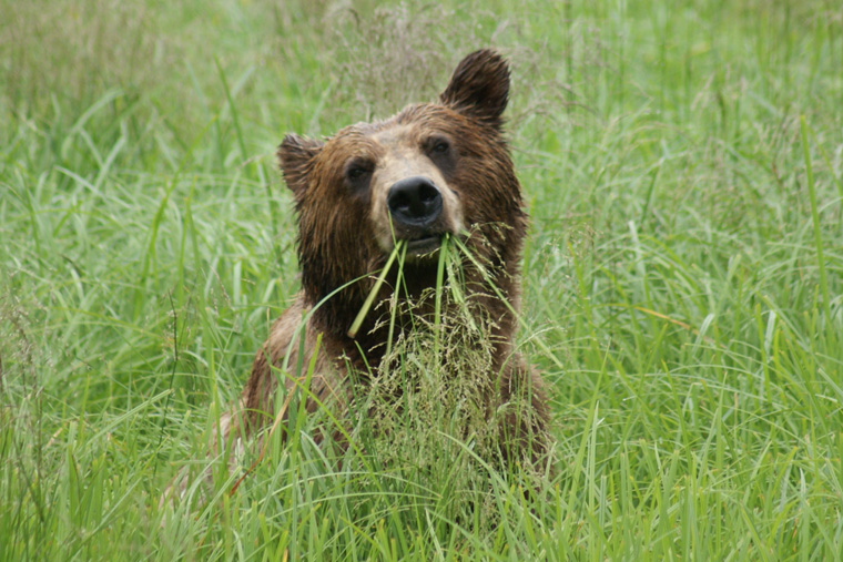A Brown Bear munches on grass in the Misty Fjords