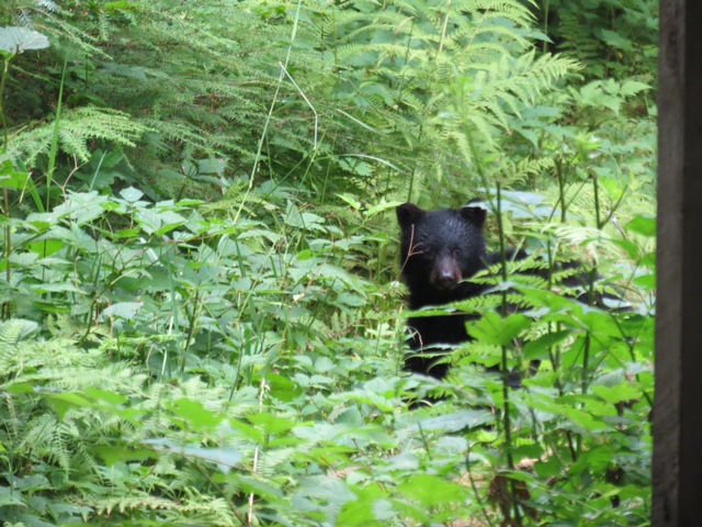 Traitor's Cove Bear Viewing