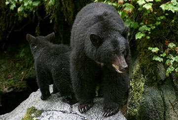 Traitor's Cove Bear Tour